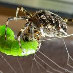 Zirneklis.