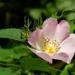 Rudā roze.