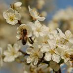Eiropas medus bite.