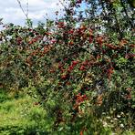 Prunus cerasus.
