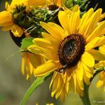 Saulespuķe.