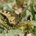Papilio machaon.