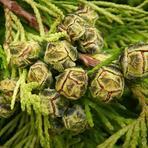 Cupressaceae.