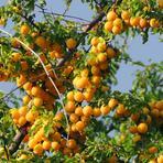 Prunus.