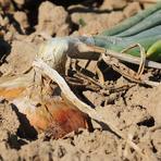 Allium cepa.