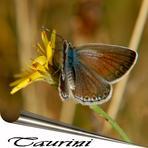 Tauriņi jeb zvīņspārņi /Lepidoptera/.