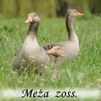 Meža zoss /Anser anser/.