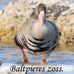 Baltpieres zoss /Anser albifrons/.