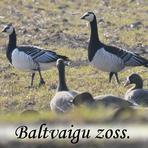 Baltvaigu zoss //Branta leucopsis/.