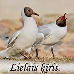 Lielais ķīris /Larus ridibundus/.