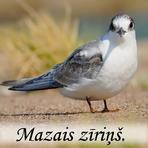 Mazais zīriņš /Sterna albifrons Pall/.