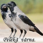 Pelēkā vārna /Corvus cornix/.