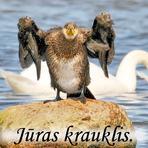 Jūras krauklis /Phalacrocorax carbo/. Cormorant.
