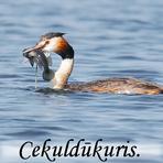 Cekuldūkuris / Podiceps cristatus/.