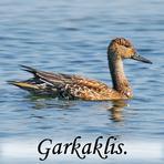 Garkaklis /Anas acuta/.