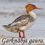 Garnābja gaura /Mergus serrator/.