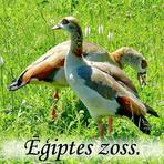Ēģiptes  zoss /(Alopochen aegyptiacus/.
