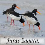 Jūras žagata /Haematopus ostralegus/.