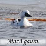 Mazā gaura /Mergus albellus/.
