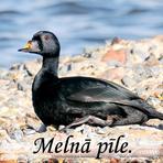 Melnā pīle /Melanitta nigra/.