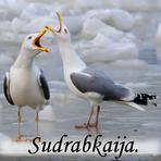 Sudrabkaija /Larus argentatus Pont/.