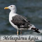Melnspārnu kaija / Larus marinus/.