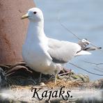 Kajaks /Larus canus/.