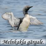 Melnkakla gārgale. /Gavia arctica/.