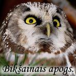 Bikšainais apogs /Aegolius funereus/.