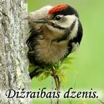 Dižraibais dzenis /Dendrocopos major/.