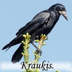 Krauķis /Corvus frugilegus/.