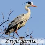 Zivju gārnis /Ardea  cinerea/.