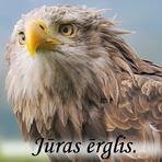 Jūras erglis /Haliaeetus albicilla/.