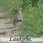 Laukirbe /Perdix perdix/.