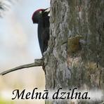 Melnā dzilna /Dryocopus martius/.