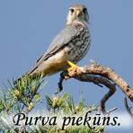 Purva piekūns /Falco columbarius/.