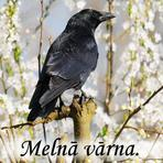 Melnā vārna /Corvus corone/.