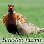 Parastais fazāns /Phasianus colchicus/.