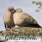 Gredzenūbele /Streptopelia decaocto.