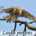 Lauku piekūns  /Falco tinnunculus/.