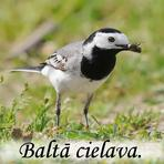 Baltā cielava /Motacilla alba/.