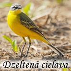 Dzeltanā cielava /Montacilla flava flava/.
