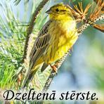 Dzeltenā stērste /Emberiza citrinella/.