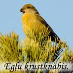 Egļu krustknabis /Loxia curvirostra/.