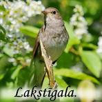 Lakstīgala /Luscinia luscinia/.