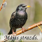 Mājas strazds /Sturnus vulgaris/.