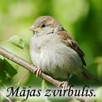 Mājas zvirbulis /Passer domesticus/.