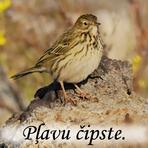 Pļavu čipste /Anthus pratensis/.