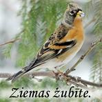 Ziemas žubīte /Fringilla montifringilla/.