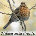 Melnais meža strazds /Turdus merula/.